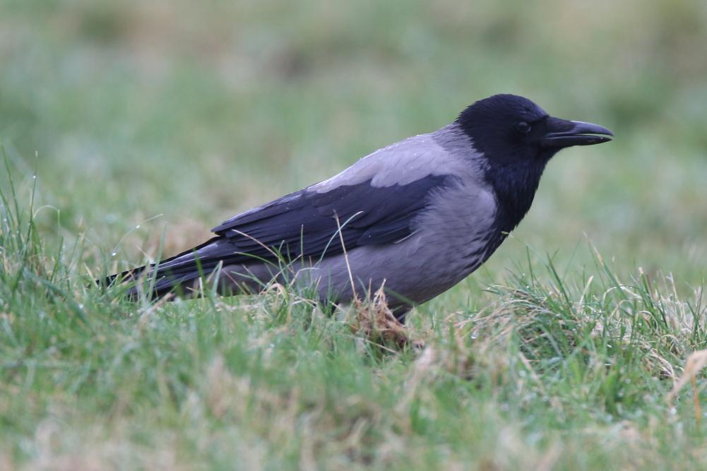 Hooded Crow - Ashton Heath, Wigan, February 2018